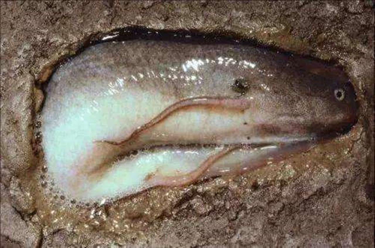 """世界最""""难死""""的鱼, 耐得住干旱, 却败给了非洲人的嘴"""