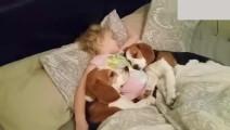 小女孩跟两只狗狗一起睡懒觉,当老爸叫起床时,狗狗反应萌翻了