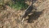 野外发现只流浪猫看着很眼熟,仔细一看后背都湿透了,惨了