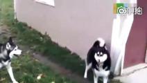 这才是真正的哈士奇,本狗就上墙给你看