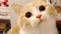 Bobi酱!萌宠红人麦克喵,这个猫好酷