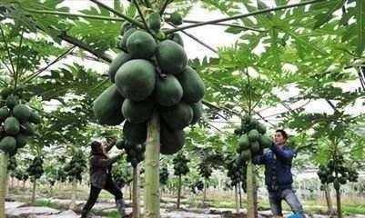木 瓜 树 木瓜树又名木梨,降龙木等,分很多品种如皱皮木瓜,宣木瓜等