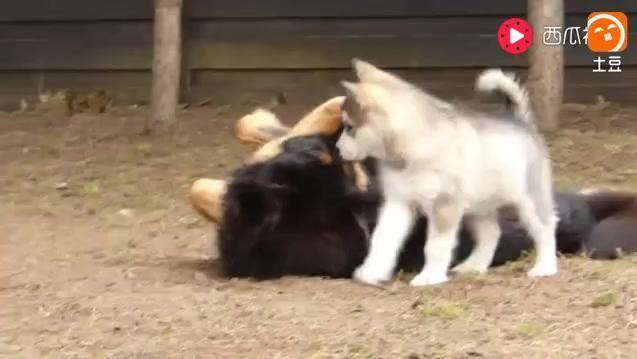 哈士奇和藏獒在打架,看到布偶猫后,都很好奇的围观它