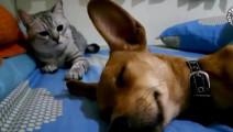狗狗睡觉打呼噜,被身后的猫一巴掌拍蒙了