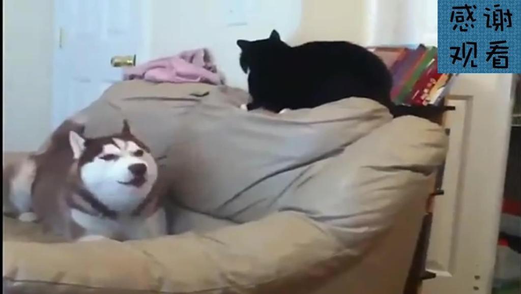 二哈又在学狼叫,一旁的猫咪看不下去了,突然放大招