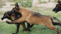 杜高犬VS比特犬 激烈场面不忍直视