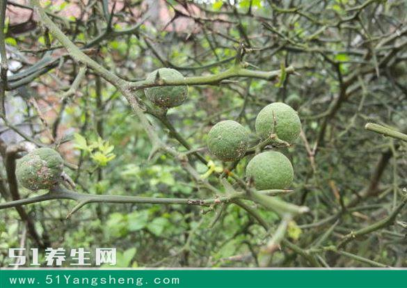 农村里野生的怪树, 狗见了转身逃跑, 果子像橘子却没人敢吃