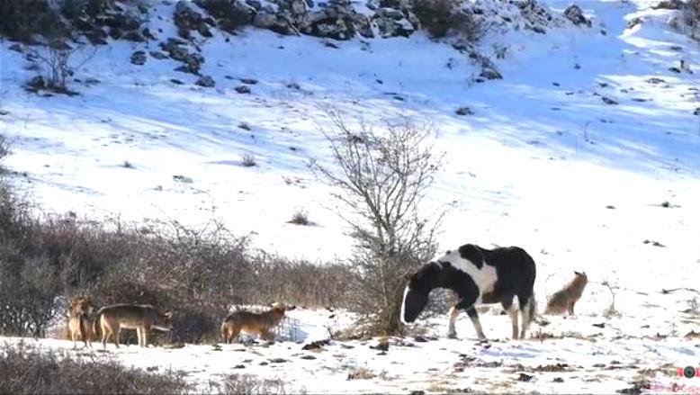 野马面对狼群围攻,不仅一点不惧,居然还卖萌撒娇!