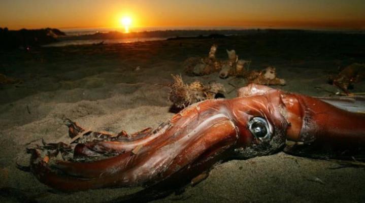 """2007年发现成活的深海巨兽大王酸浆鱿 称为""""怪兽""""级别的深海生"""
