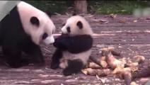 坑娃!熊猫妈妈各种坑孩子,这是亲生的吗?笑死人不偿命