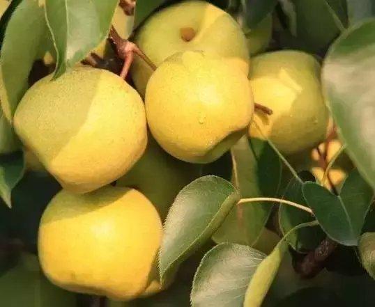 梨汁味甘酸而平,有润肺清燥、止咳化痰、养血生肌的作用