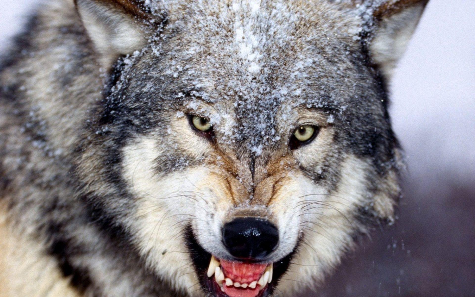 最凶猛的_世界上最凶猛的狗排名,比特犬数分钟咬死藏獒 视频 探秘志