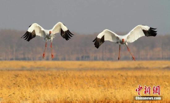 广东首次观测到国家一级保护野生动物白鹤