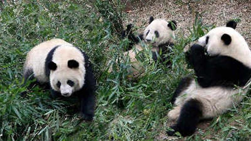 动物园突然放水,吓得四只熊猫都会上树了