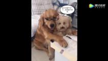 金毛正教泰迪学习,女主人一开门正好撞见,狗狗后腿亮了!