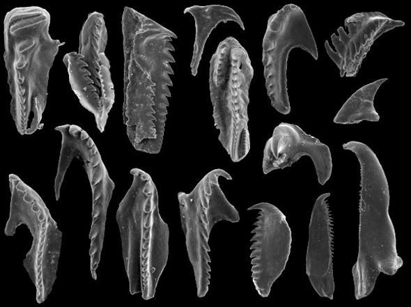 环节动物的虫牙化石(下图)也曾被归入牙形刺(上图),但二者对比,形态