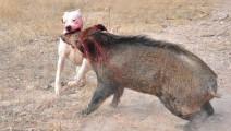 野猪偷吃玉米遭围,独战群狗,以一敌十丝毫不弱下风