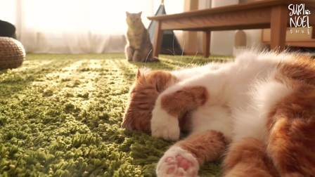 [Suri Noel萌喵一家]可以治疗失眠的猫咪们的睡相