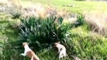 两只小狗冲着草地直叫,它们发现了什么?竟能让主人乐得嘴巴都合不拢了!