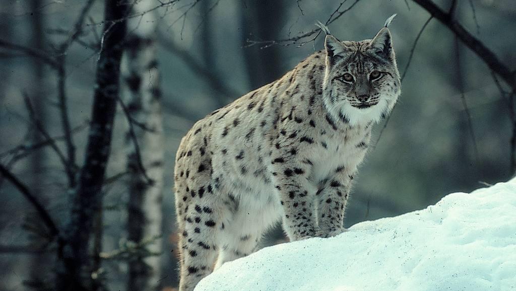 猞猁追杀狐狸,看得我心惊肉跳,比动物世界刺激