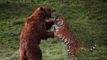 罕见!百兽之王老虎搏杀巨人棕熊珍贵视频