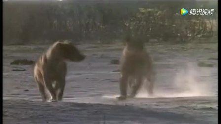 狮子闯入鬣狗地盘 鬣狗女王为保护幼崽急忙赶回大战狮群