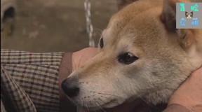 主人要离开家不能带狗走哭了,狗狗为主人擦眼泪,一路狂奔追主人图片