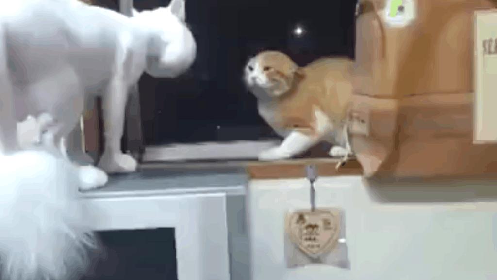 白猫剃了毛之后,家里的橘猫就不认识了,一脸惊恐的望着: 你是谁!