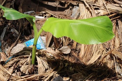 推荐 正文  香蕉树它不是树,而是巨型草本植物,给大家普及这个常识哈.
