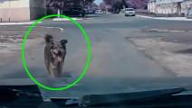 狗狗强行阻止他开车,接下来的一幕让人细思极恐