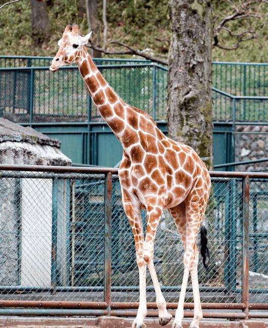 台州湾野生动物园已引入非洲长颈鹿, 等你来取名
