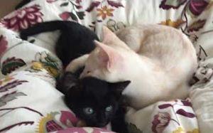 [喵星人黑白配]不管是黑猫白猫,能玩在一起就是好猫