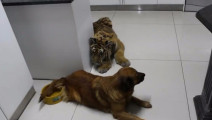 把老虎跟狗一起养大,长大后老虎成了这怂样