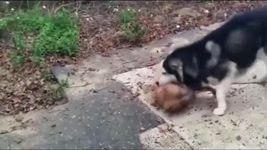 哈士奇大战比特犬,二哈用持久耐力终于让比特犬假装认输了!