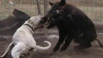 400斤野猪王接受十几条猎狗轮番攻击,没想到是这种结果!