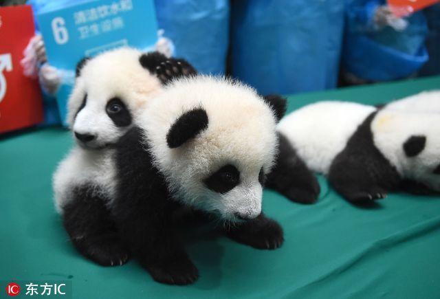 """熊猫宝宝摔进""""世界最佳图片"""""""