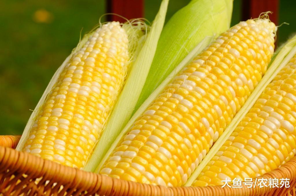 春节玉米惜售尤为严重, 涨价几率还有多大?