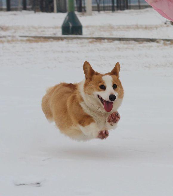 """威尔士柯基犬,又称""""柯基"""",是一种非常聪明可爱的小型犬,以""""小短腿""""等"""