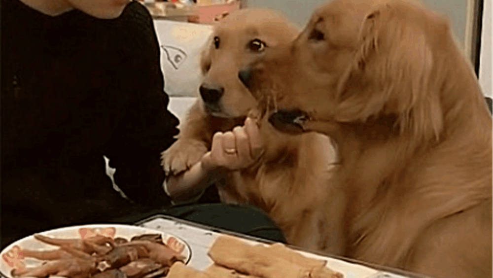 有两只金毛在旁边,吃个东西太难了,儿子快吃