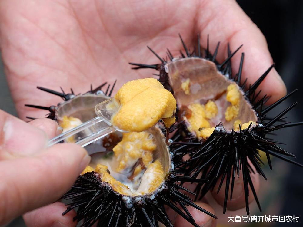 全身长满尖刺, 日本800元一只供不应求, 在国内却被人嫌弃