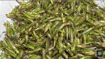 这样吃蚂蚱还真没见过,看看越南人如何烹饪这道美味