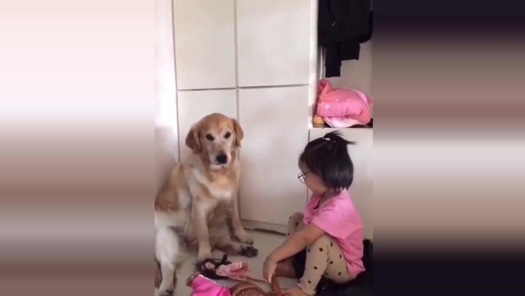 主人去上班,留金毛在家照顾小姑娘,金毛把宝宝当亲女儿一样照顾