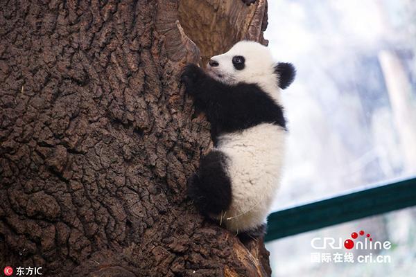 """旅奥大熊猫""""阳阳""""携双胞胎宝宝亮相维也纳动物园"""