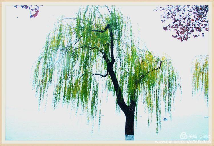 关于描写柳树的古诗词