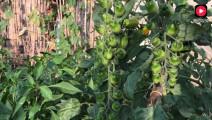 农村妈妈腌制的绿辣椒,里面放了什么,吃一年都不会坏