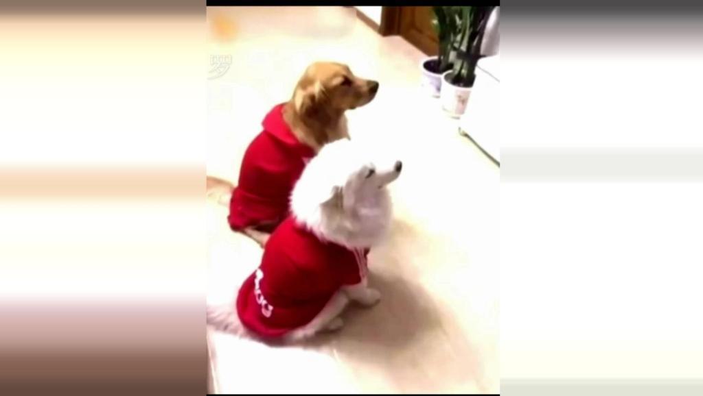 狗狗看电视看到无法自拔,不料被主人全程录下,结果真的好搞笑