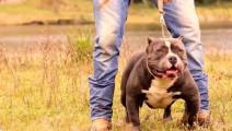 肌肉最夸张的狗,恶霸犬长见识了,斗牛比特太不够资格了