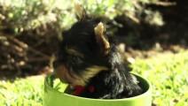 不愧是茶杯犬啊,萌生生的钻在杯子里,好小一只