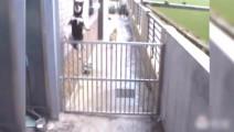 柴犬什么情况下都可以越狱,其他狗狗都看呆了!
