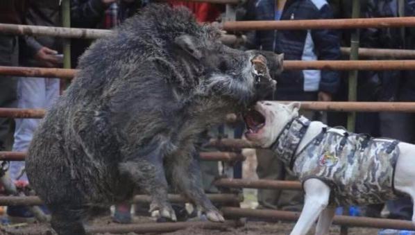 杜高犬单挑一头300斤野猪,猎狗直接被野猪碾压!